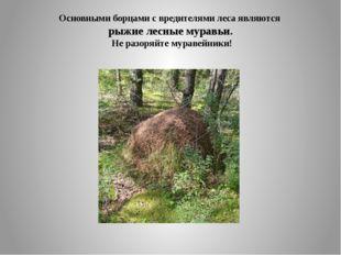 Основными борцами с вредителями леса являются рыжие лесные муравьи. Не разоря