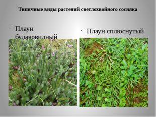 Типичные виды растений светлохвойного сосняка Плаун булавовидный Плаун сплюсн