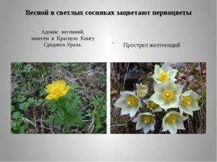 Весной в светлых сосняках зацветают первоцветы Адонис весенний, занесён в Кра