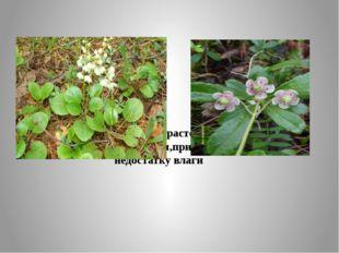 Гришанка, зимолюбка – растения с плотными кожистыми листьями,приспособлены к