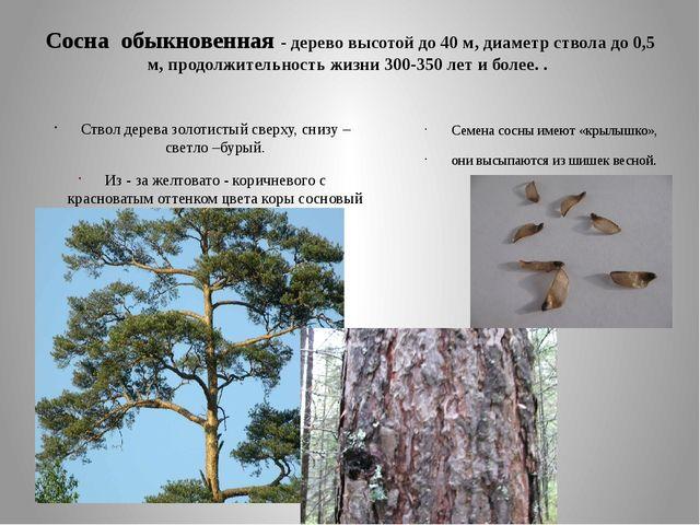 Сосна обыкновенная - дерево высотой до 40 м, диаметр ствола до 0,5 м, продолж...