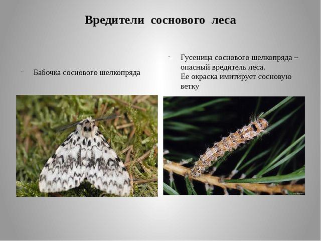 Вредители соснового леса Бабочка соснового шелкопряда Гусеница соснового шелк...