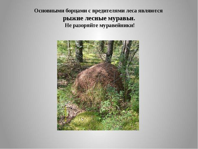 Основными борцами с вредителями леса являются рыжие лесные муравьи. Не разоря...