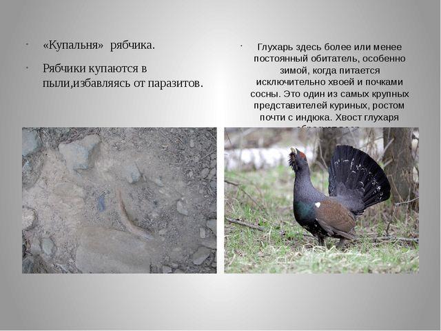 «Купальня» рябчика. Рябчики купаются в пыли,избавляясь от паразитов. Глухарь...