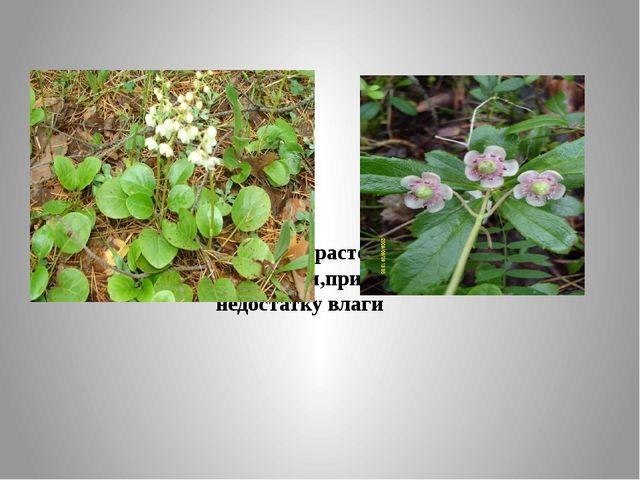 Гришанка, зимолюбка – растения с плотными кожистыми листьями,приспособлены к...