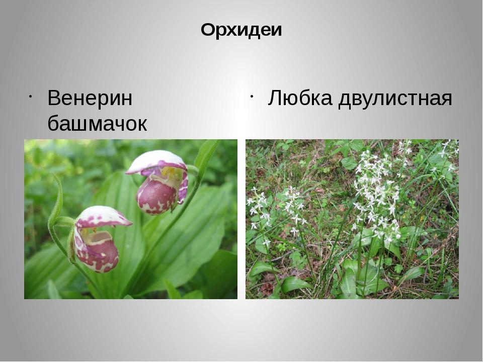 Орхидеи Венерин башмачок Любка двулистная