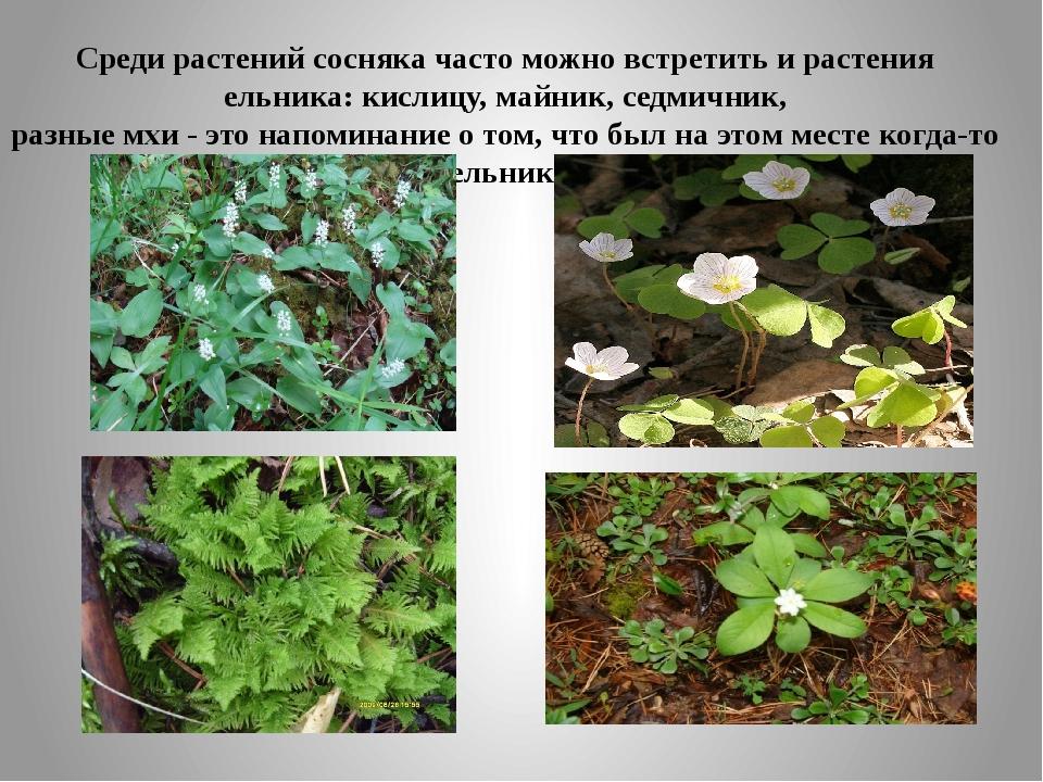 Среди растений сосняка часто можно встретить и растения ельника: кислицу, май...