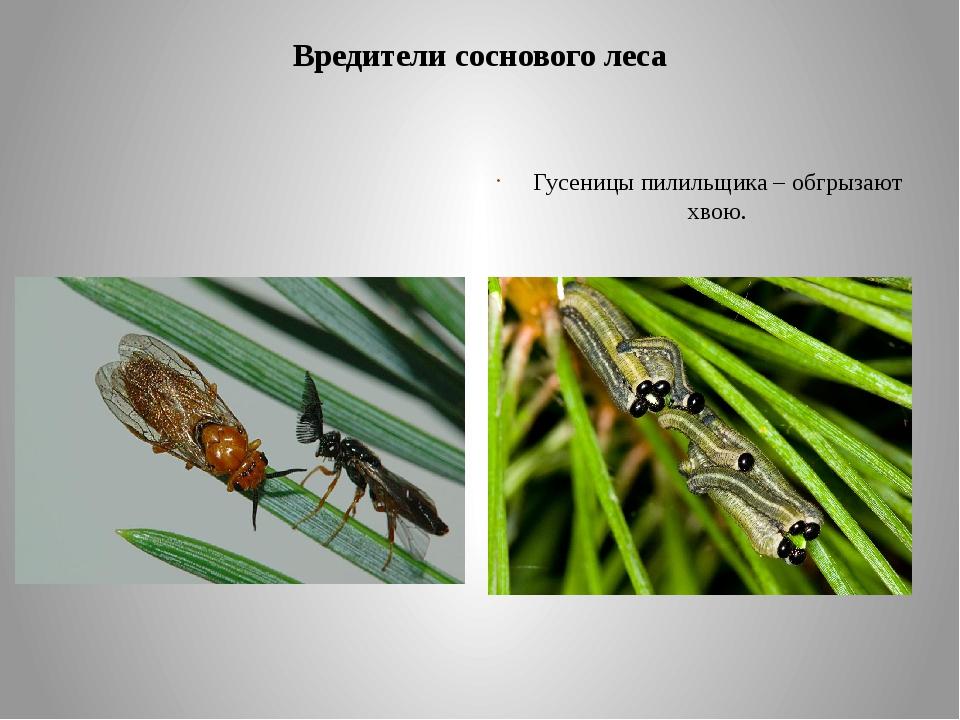 Вредители соснового леса Наиболее известен рыжий сосновый пилильщик, как злос...