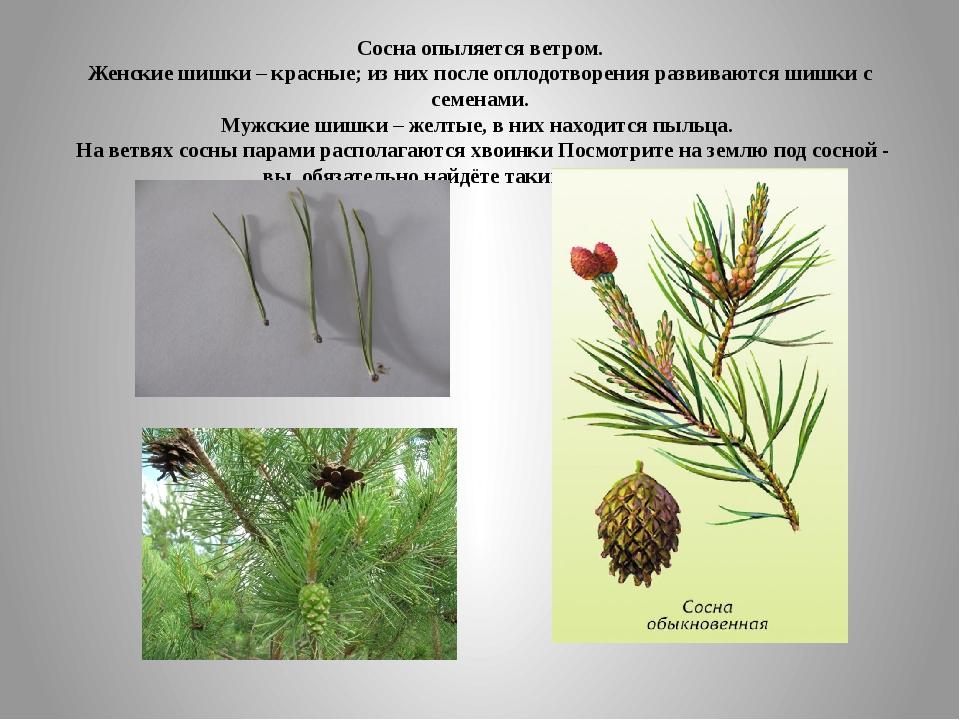 Сосна опыляется ветром. Женские шишки – красные; из них после оплодотворения...