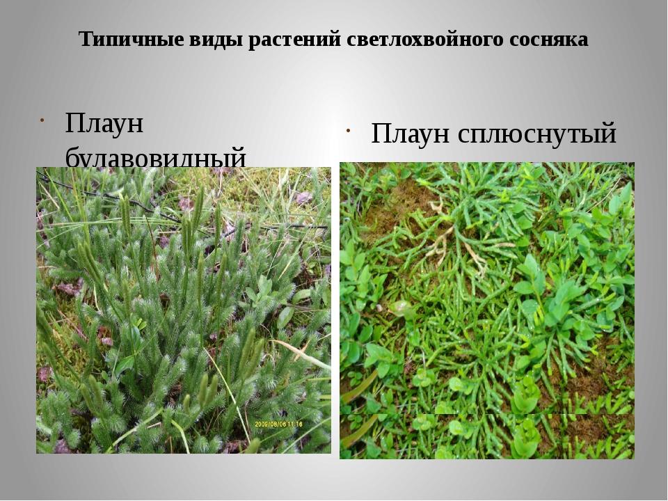 Типичные виды растений светлохвойного сосняка Плаун булавовидный Плаун сплюсн...