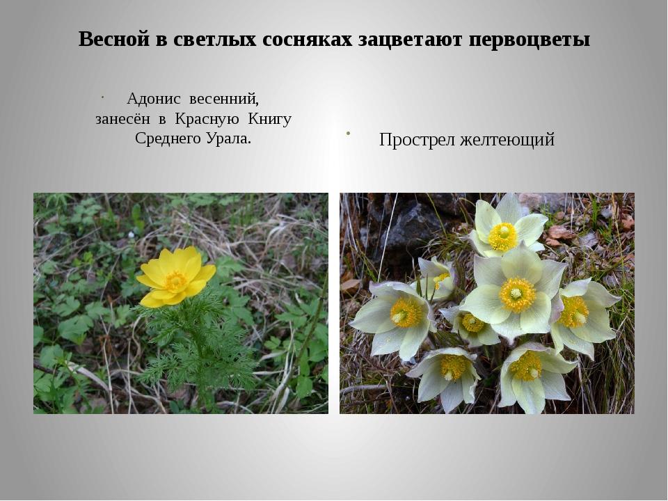 Весной в светлых сосняках зацветают первоцветы Адонис весенний, занесён в Кра...