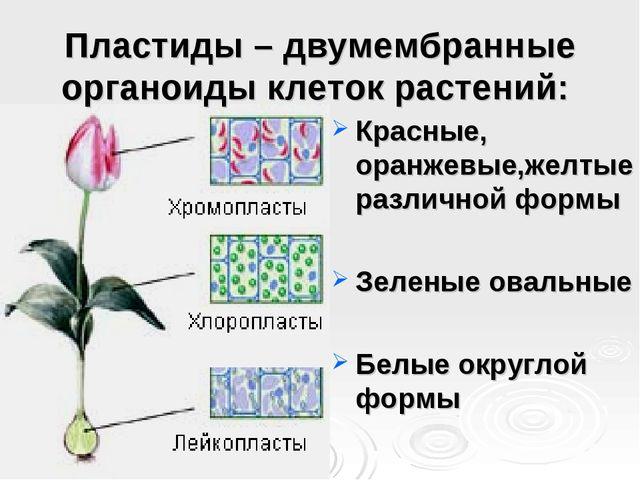 Пластиды – двумембранные органоиды клеток растений: Красные, оранжевые,желтые...