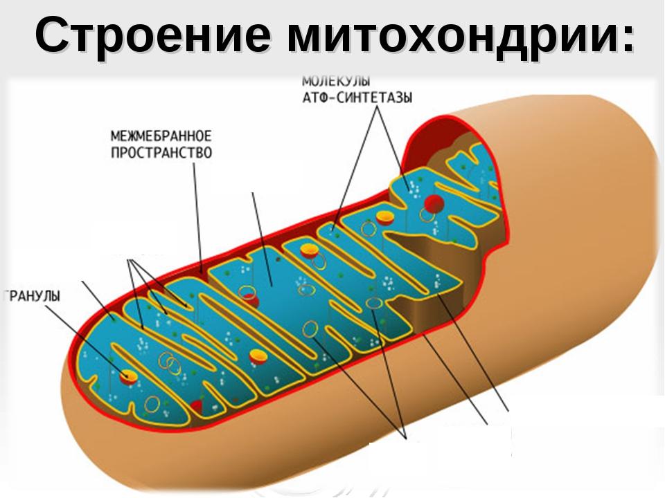 Строение митохондрии: