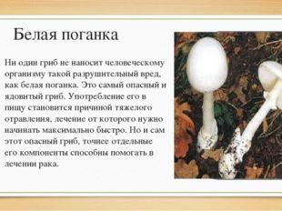 Белая поганка Ни один гриб не наносит человеческому организму такой разрушите