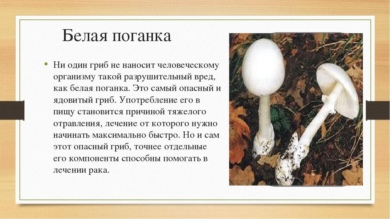 Белая поганка Ни один гриб не наносит человеческому организму такой разрушите...