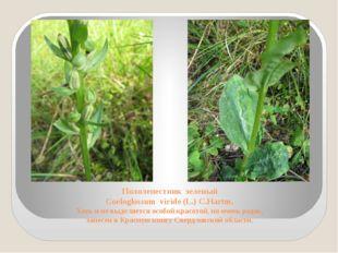 Пололепестник зеленый Coeloglossum viride (L.) C.Hartm. Хоть и не выделяется
