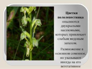 Цветки пололепестника опыляются двукрылыми насекомыми, которых привлекает сл