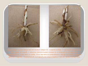 Подземные хранилища питательных веществ - корнеклубни. У орхидей обычно их дв