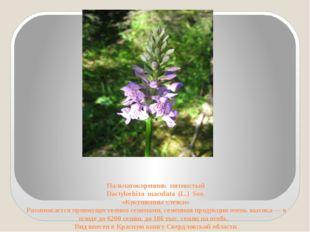 Пальчатокоренник пятнистый Dactylorhiza maculata (L.) Soo. «Кукушкины слезки