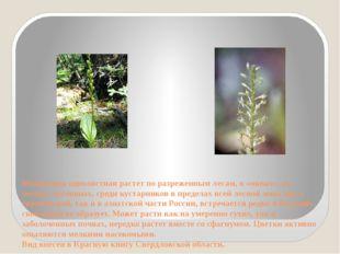 Мякотница однолистная растет по разреженным лесам, в «окнах», на лесных луго