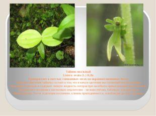 Тайник овальный Listera ovata (L.) R.Br. Произрастает в светлых смешанных лес