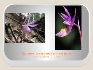 Калипсо луковичная или северная Calypso bulbosa (L.) Gakes.