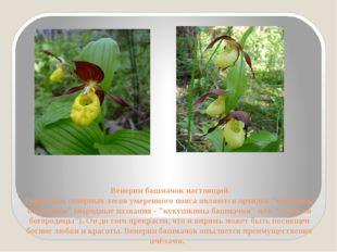 Венерин башмачок настоящий. Гордостью северных лесов умеренного пояса являют
