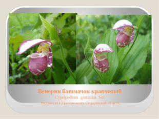 Венерин башмачок крапчатый Cypripedium guttatum Sw. Вид внесен в Красную книг