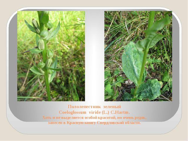 Пололепестник зеленый Coeloglossum viride (L.) C.Hartm. Хоть и не выделяется...