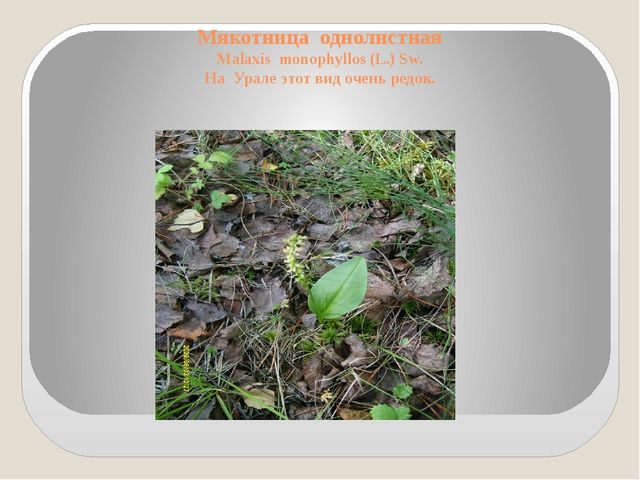 Мякотница однолистная Malaxis monophyllos (L.) Sw. На Урале этот вид очень ре...