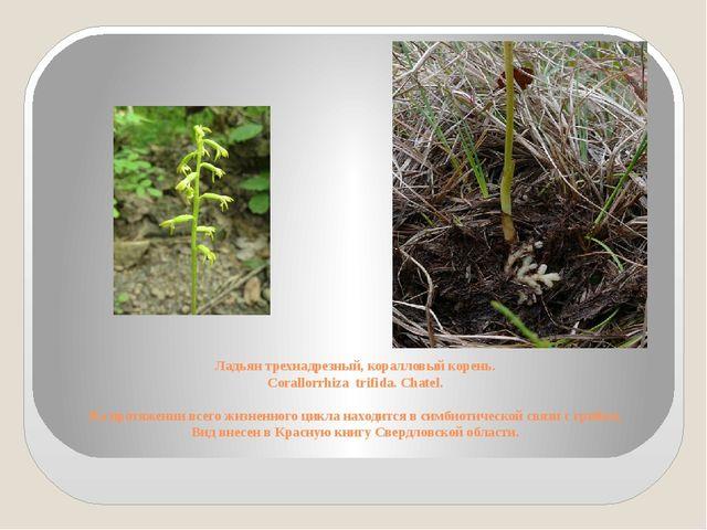 Ладьян трехнадрезный, коралловый корень. Corallorrhiza trifida. Chatel. На пр...