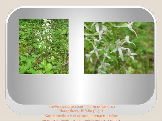 Любка двулистная, ночная фиалка Platanthera bifolia (L.) Ri Корнеклубни у се...