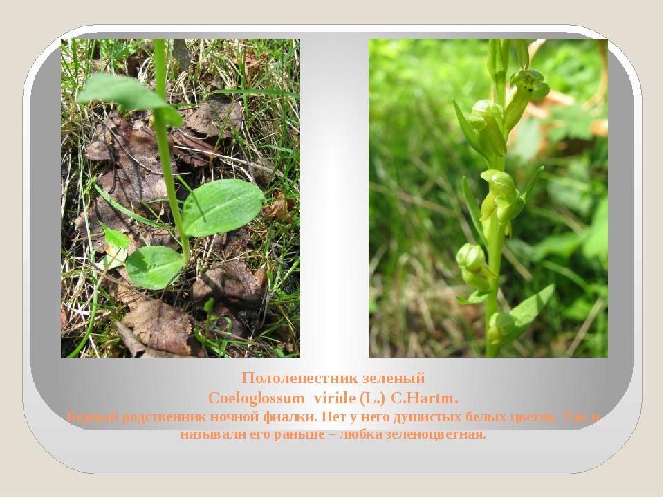 Пололепестник зеленый Coeloglossum viride (L.) C.Hartm. Бедный родственник но...