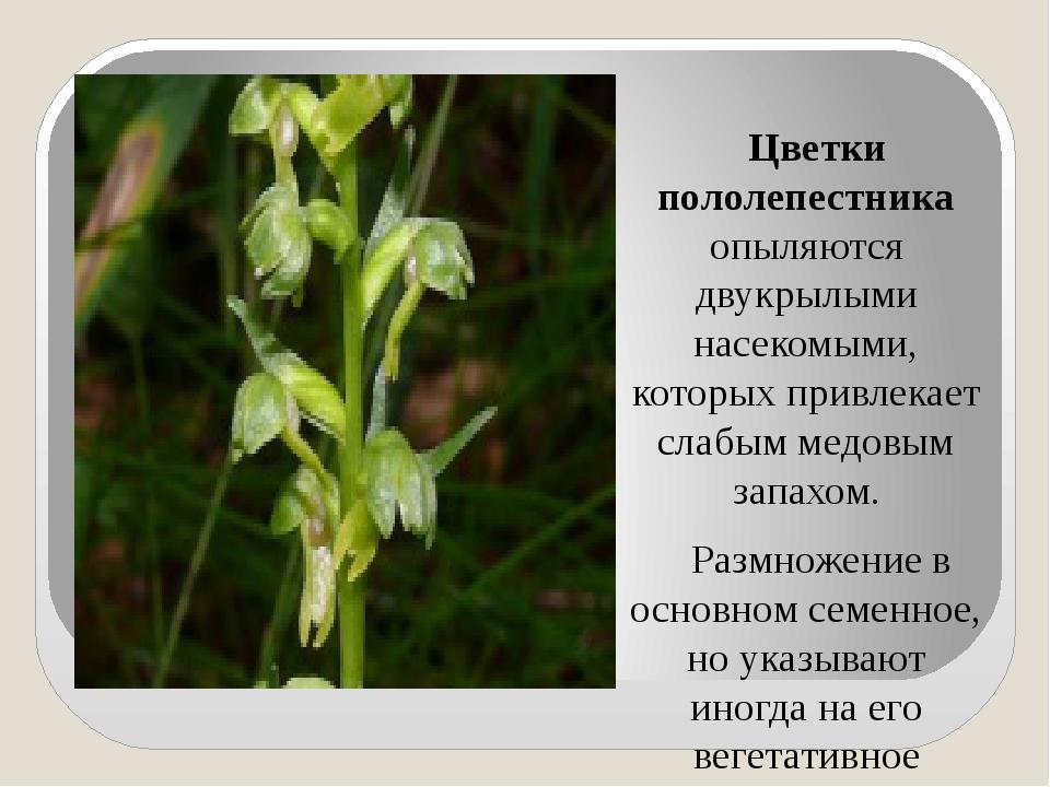 Цветки пололепестника опыляются двукрылыми насекомыми, которых привлекает сл...