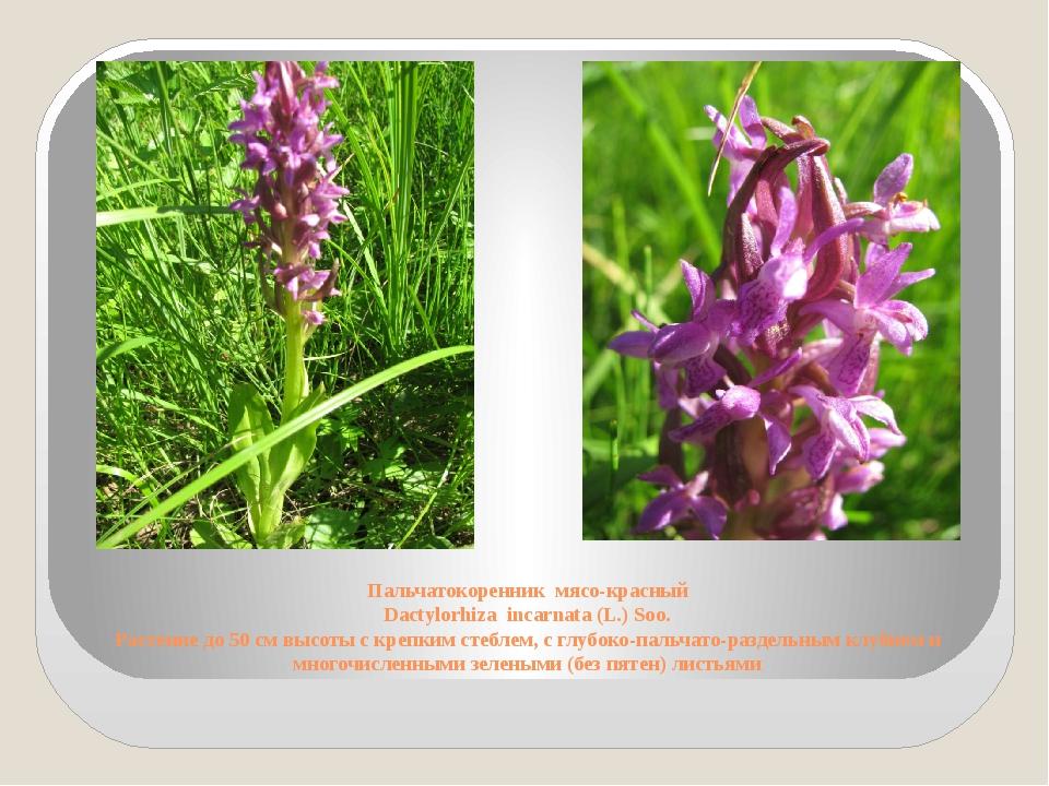 Пальчатокоренник мясо-красный Dactylorhiza incarnata (L.) Soo. Растение до 50...