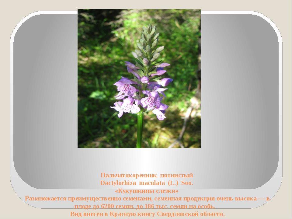 Пальчатокоренник пятнистый Dactylorhiza maculata (L.) Soo. «Кукушкины слезки...
