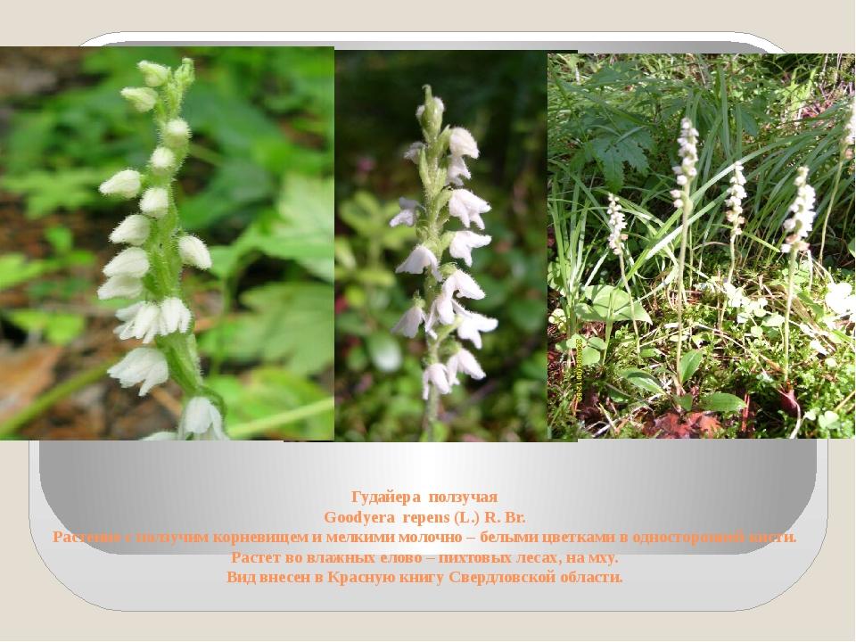 Гудайера ползучая Goodyera repens (L.) R. Br. Растение с ползучим корневищем...