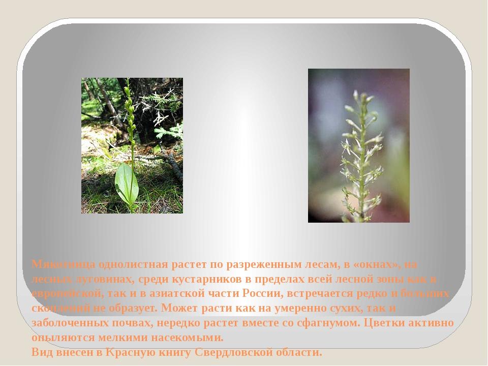Мякотница однолистная растет по разреженным лесам, в «окнах», на лесных луго...