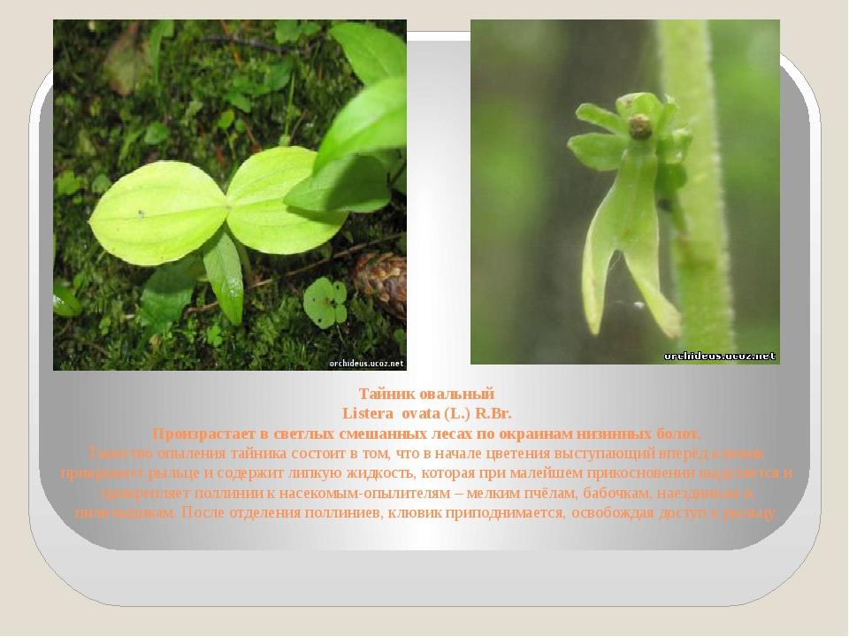 Тайник овальный Listera ovata (L.) R.Br. Произрастает в светлых смешанных лес...