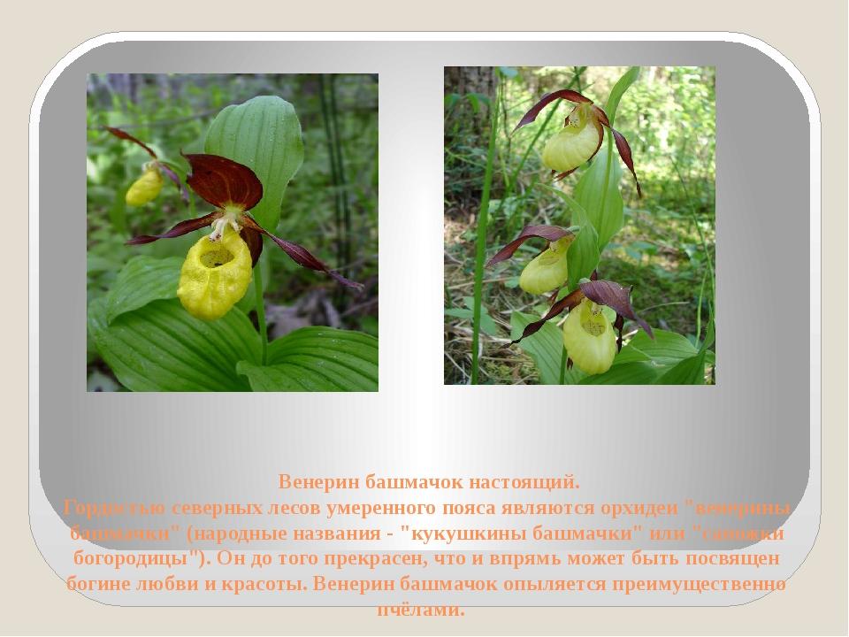 Венерин башмачок настоящий. Гордостью северных лесов умеренного пояса являют...