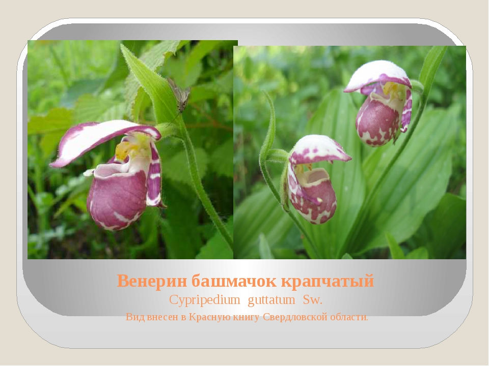 Венерин башмачок крапчатый Cypripedium guttatum Sw. Вид внесен в Красную книг...