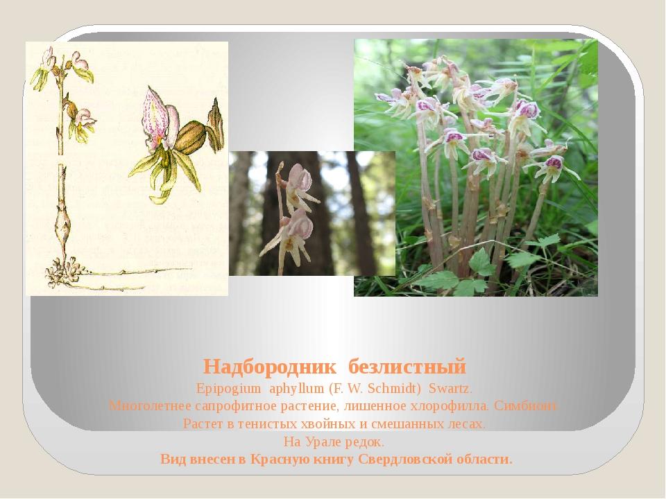 Надбородник безлистный Epipogium aphyllum (F. W. Schmidt) Swartz. Многолетнее...