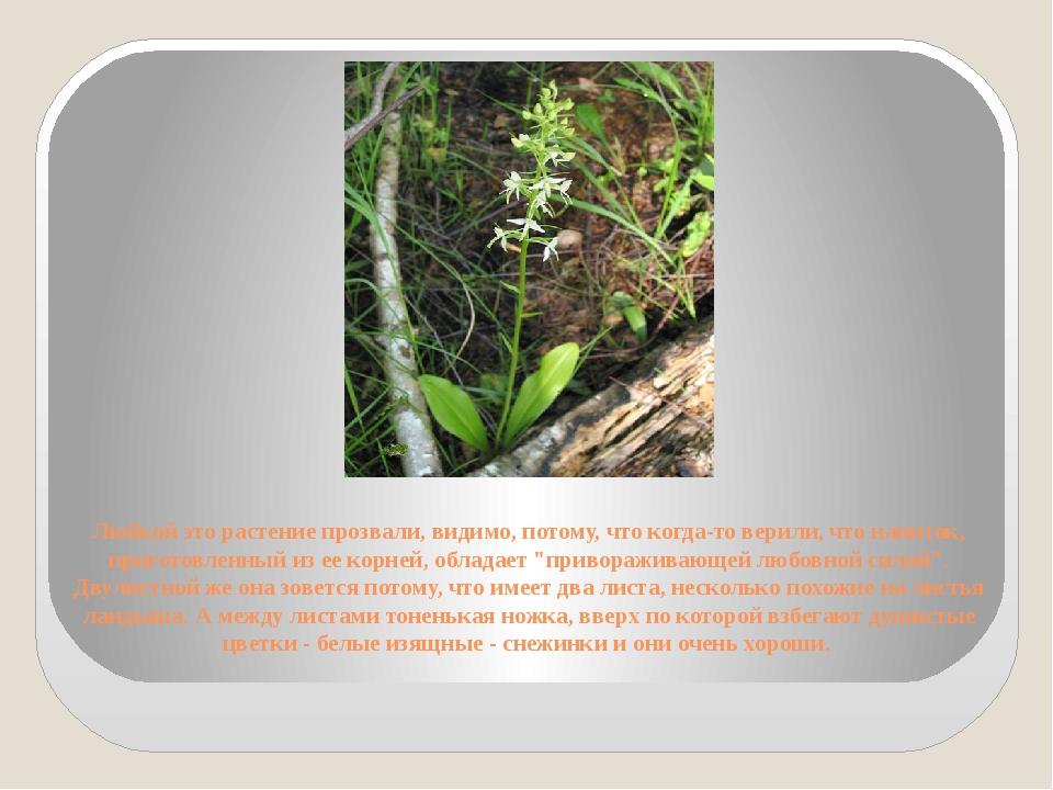 Любкой это растение прозвали, видимо, потому, что когда-то верили, что напито...