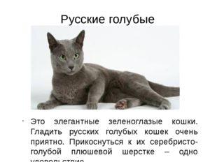 Русские голубые кошки Это элегантные зеленоглазые кошки. Гладить русских голу