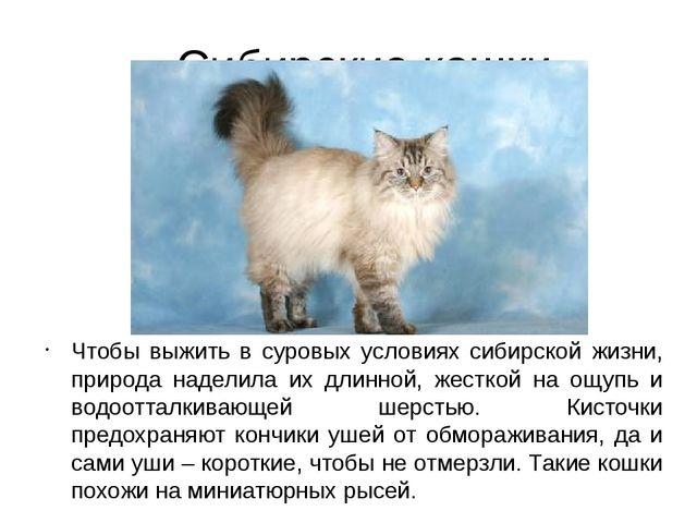 Сибирские кошки Чтобы выжить в суровых условиях сибирской жизни, природа наде...