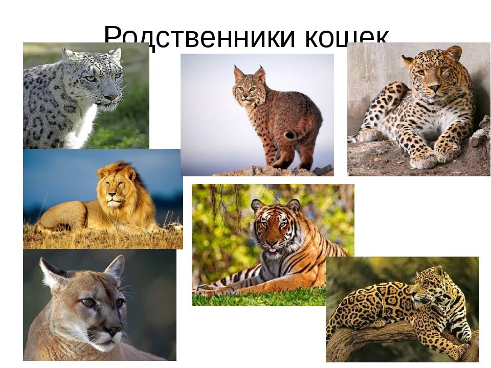 Родственники кошек