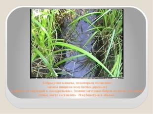 Бобры роют каналы, по которым сплавляют запасы пищи на зиму (ветки деревьев)