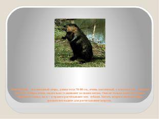 Речной бобр - околоводный зверь, длина тела 70-80 см., очень массивный, с пло