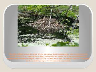 Жилище бобров (нора или хатка) всегда находится выше уровня воды, а вот вход