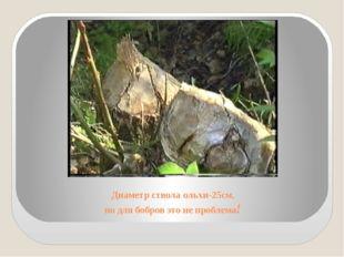 Диаметр ствола ольхи-25см, но для бобров это не проблема!